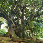 Ficusboom