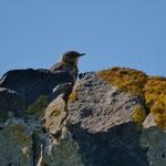 Oeverpieper (Anthus petrosus) - Isle of May, Scotland
