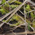 Moeraswolfsmelk (Lycopodiella inundata) - Teut België
