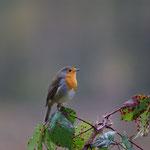 Roodborst (Erithacus rubecula) - Domein Kiewit België
