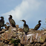 Kuifaalscholver (Phalacrocorax aristotelis) - Bass Rock Schotland