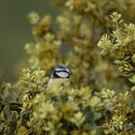 Pimpelmees (Cyanistes caeruleus) - Extremadura Spanje