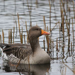 Grauwe gans (Anser anser) - Platwijers België