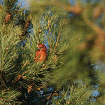 Grote kruisbek (Loxia pytyopsittacus) - Parrot crossbill - Vallei van de Zijpbeek België