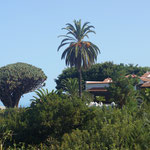 Drakenbloedboom, endemisch op de Canarische eilanden en Madeira, en dit exemplaar wordt rond de 1000 jaar geschat