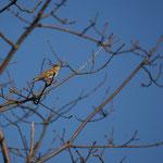 Boomleeuwerik (Lullula arborea) - Averbode bos & Heide België