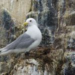Drieteenmeeuw (Riss tridactyla) - Farne Islands, UK