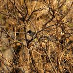 Kleine zwartkop man (Sylvia melancocephala) - Rhodos Griekenland