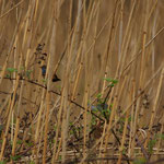 Blauwborst (Luscinia svecica) - Platwijers België