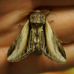 Brandvlerkvlinder (Pheosia tremula) -  op lichtval Raversijde België