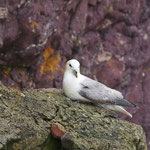 Noordse stormvogel (Fulmar glacialis)