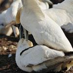 Jan-van-genten (Morus bassanus)