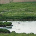 Steltkluut (Himantopus himantopus) - Black-winged stilt - Weiden Pompje België