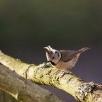 Kuifmees (Lophophanes cristatus) - Platwijers België