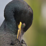 Kuifaalscholver (Phalacrocorax aristotelis) - Farne Islands, UK