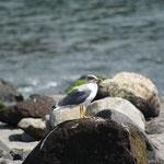 Azorese geelpootmeeuw (Larus michahellis atlantis)