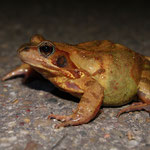 Bruine kikker (Rana temporaria) - Common frog - Hasselt België