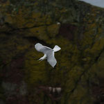 Drieteenmeeuw (Rissa tridactyla) - St-Abbs head, Scotland