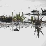 Temmincks strandloper (Calidris temmincki) - Uitkerke België