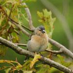 Azorese vink (Fringilla coelebs moreletti)