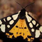 Roomvlek (Arctia villica) - Raversijde België