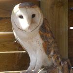 Kerkuil (Tyto alba) - VOC Oostende