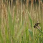 Rietzanger (Acrocephalus schoenobaenus) - Domein Raversijde België