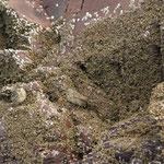 Oeverpieper (Anthus petrosus) - Bass rock, Scotland