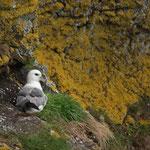 Noordse stormvogel (Fulmar glacialis) - St-Abbs head, Scotland