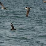 Grote jager (Stercorarius skua) - Noordzee, België
