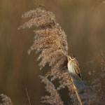Rietgors (Emberiza schoeniclus) -Platwijers België