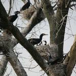 Aalscholver (Phalacrocorax carbo) - Bourgoyen België