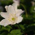 Bosanemoon (Anemone nemorosa) - Nieuwenhoven België