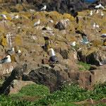 Zilvermeew & Kleine mantelmeeuw (Larus argentatus & fuscus) - Isle of May, Scotland