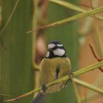 Canarische pimpelmees (Cyanistes teneriffae teneriffae)