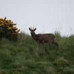 Ree (Capreolus capreolus) - St-Abbs head, Scotland