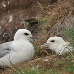 Noordse stormvogel (Fulmarus glacialis) - Farne Islands, UK