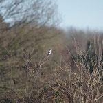Klapekster (Lanius excubitor) - Platwijers België