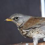 Kramsvogel (Turdus pilaris) - VOC Oostende