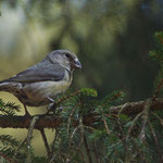Kruisbek (Loxia curvirostra) - Elsenborn België