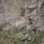 Oehoe (Bubo bubo) - Eurasian eagle-owl - Hoge Venen België