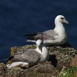 Noordse stormvogel (Fulmar glacialis) - Isle of May, Scotland