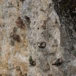 Rotszwaluw (Ptyonoprogne rupestris) - Sepulveda Spanjde