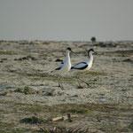 Kluut (Recurvirostra avosetta) - Avocet - Oostende België