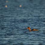 Middelste zaagbek (Mergus serrator) (vrouw) - Spuikom Oostende België