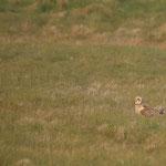 Velduil (Asio flammeus) - Short-eared owl - Uitkerke België