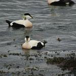 Eider (Somateria mollisima) (mannen) - North Berwick Schotland