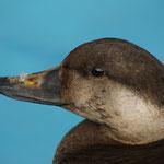 Zwarte zee-eend (Melanitta nigra) (man) - VOC Oostende