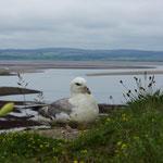 Noordse stormvogel (Fulmarus glacialis) - Holy Island, UK