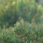 Groenling (Carduelis chloris)